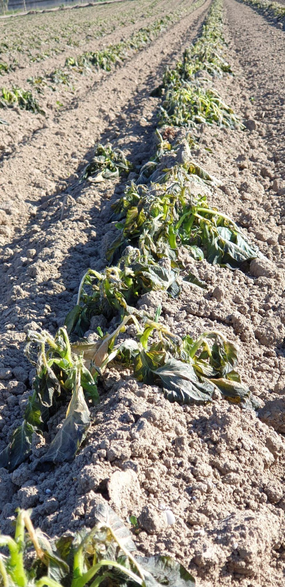 Freddo e gelate, i danni all'agricoltura. L'analisi della Federazione Agronomi Campania