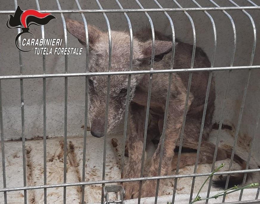 Montella, salvato cucciolo di lupo